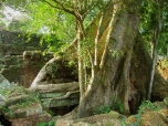 a tree growing straight through the center of Ta Prohm