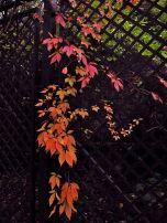 Fall Ivy, Musee Rodin